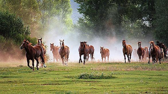 horses-running-PEMF8000
