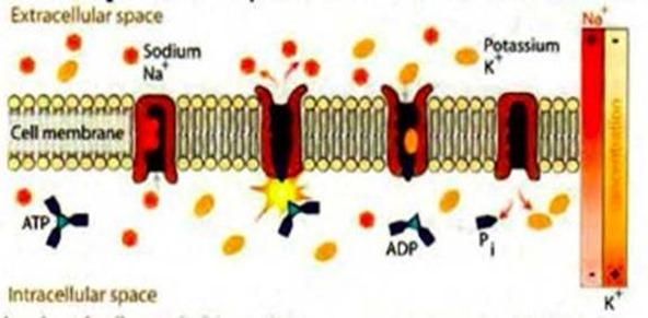 PEMF CELL REPAIR